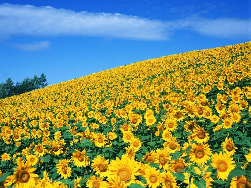 sun-flower-yellow-field-hd-wallpaper-15576