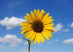 sunflower_on_blue_sky_by_stock_by_kai
